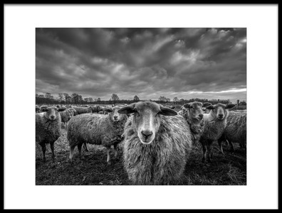 Art print titled  Only Sheep by the artist Chris Coenders