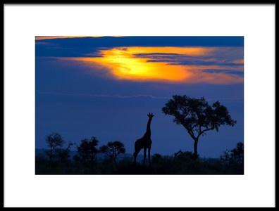 Buy this art print titled A Giraffe at Sunset by the artist Mario Moreno