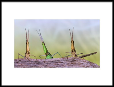 Art print titled Acrida Trio by the artist Jimmy Hoffman