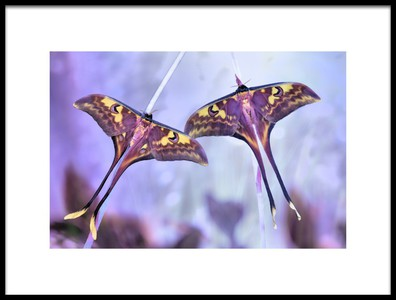 Art print titled Actias by the artist Jimmy Hoffman