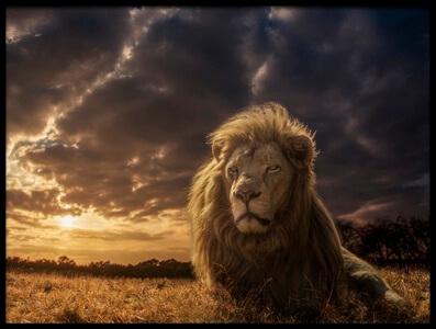Art print titled Adventures On Savannah - the Lion King by the artist Jackson Carvalho