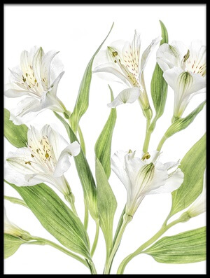 Buy this art print titled Alstroemeria III by the artist Mandy Disher