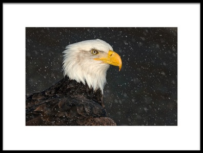 Art print titled American Bald Eagle by the artist Cheryl Schneider
