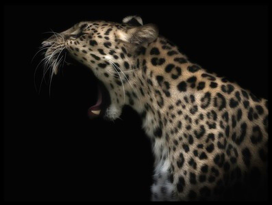 Art print titled Amur Leopard (in Colour) by the artist David williams