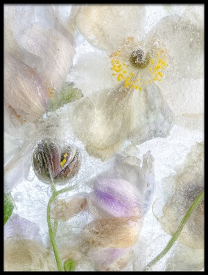Buy this art print titled Anemone Frost by the artist Mandy Disher
