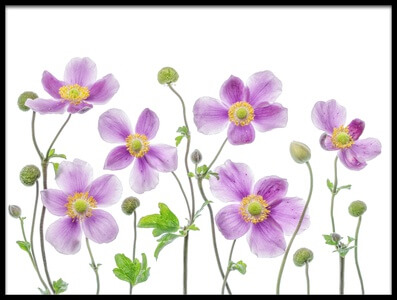Art print titled Anemone Japonica by the artist Mandy Disher