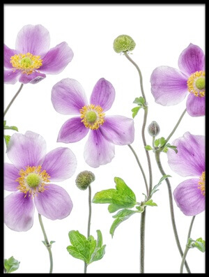 Buy this art print titled Anemone Japonica III by the artist Mandy Disher