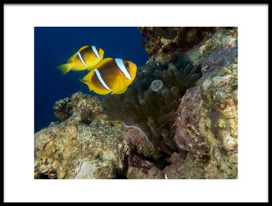Art print titled Anemonefish by the artist Ilan Ben Tov