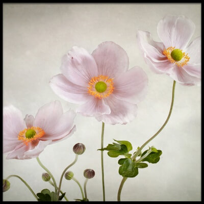Art print titled Anemones by the artist Mandy Disher
