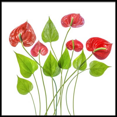 Art print titled Anthurium by the artist Mandy Disher