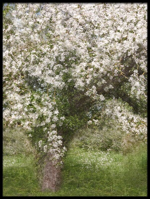 Buy this art print titled Apple Tree by the artist Jutta Kerber