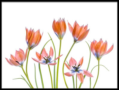 Art print titled Apricot Tulips by the artist Mandy Disher