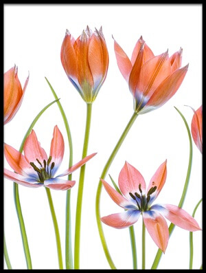 Buy this art print titled Apricot Tulips III by the artist Mandy Disher