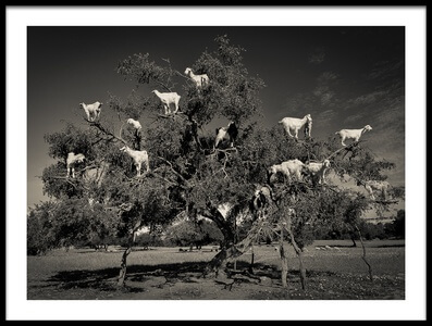 Buy this art print titled Argan Loving Goats by the artist Dario Puebla