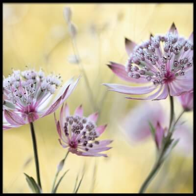 Art print titled Astrantia Major by the artist Mandy Disher
