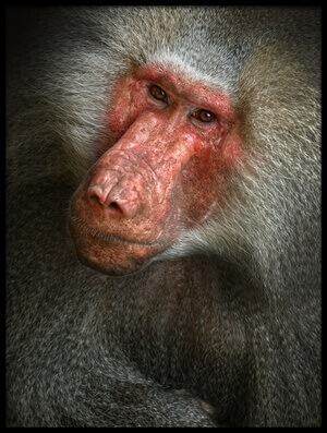 Buy this art print titled Baboon by the artist Jimmy Hoffman