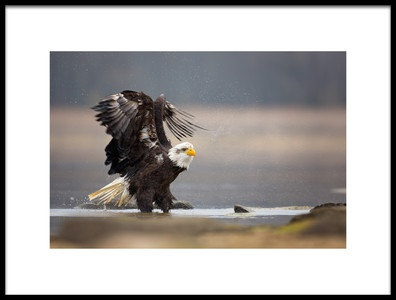 Art print titled Bald Eagle by the artist Milan Zygmunt