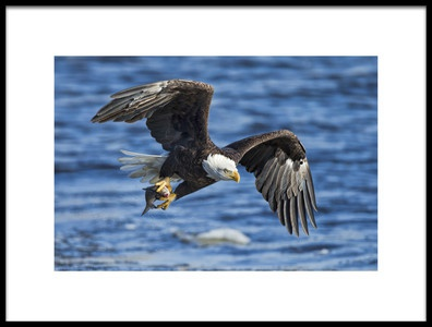 Art print titled Bald Eagle Catching Fish by the artist Jun Zuo