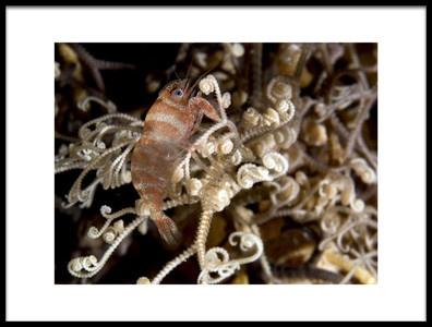 Art print titled Basket Star Shrimp by the artist Ilan Ben Tov
