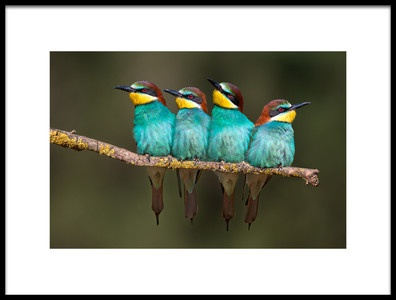 Art print titled Beeeater Resting by the artist Xavier Ortega