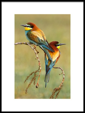 Buy this art print titled Beeeaters In Love by the artist Mario Suárez