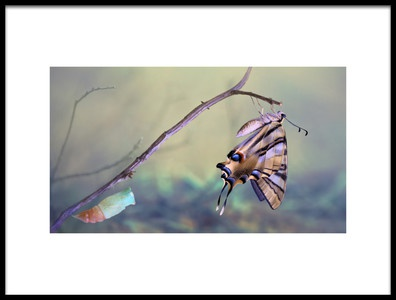 Art print titled Birth of a Swallowtail by the artist Jimmy Hoffman