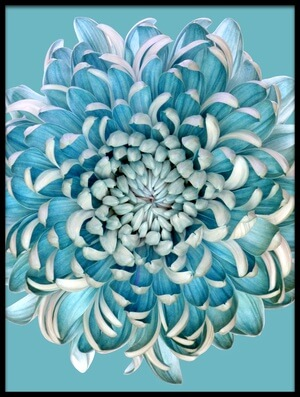 Buy this art print titled Blue Chrysanth by the artist Brian Haslam