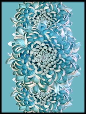 Buy this art print titled Blue Chrysanths by the artist Brian Haslam