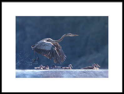 Art print titled Blue Heron Taking Off by the artist Purple Bamboo