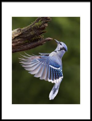 Art print titled Blue Jay In Flight by the artist Mircea Costina