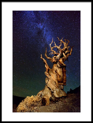 Art print titled Bristlecone Pine by the artist Tanja Ghirardini