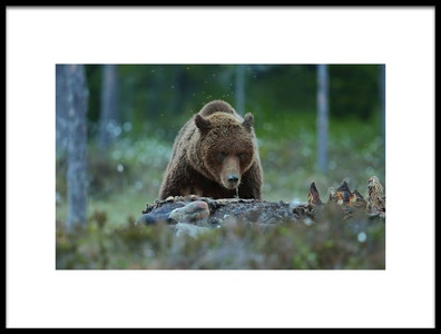 Buy this art print titled Brown Bear by the artist Assaf Gavra
