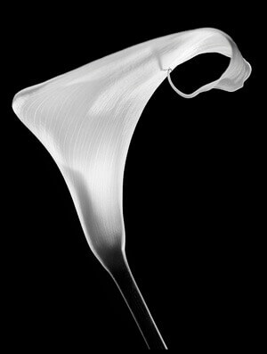 Buy this art print titled Calla by the artist Santiago Pascual Buye