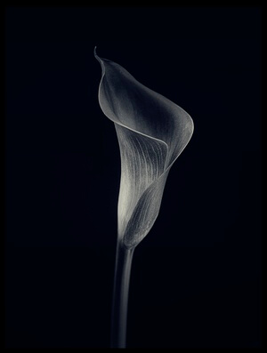 Buy this art print titled Calla Lily by the artist Lotte Grønkjær