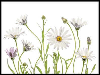 Art print titled Cape Daisies by the artist Mandy Disher
