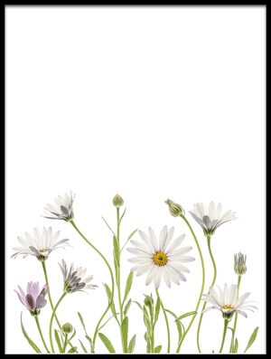 Buy this art print titled Cape Daisies II by the artist Mandy Disher