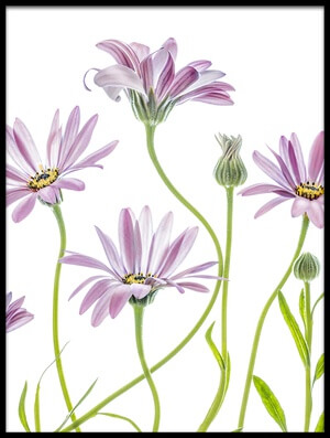 Buy this art print titled Cape Daisies III by the artist Mandy Disher
