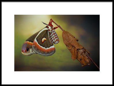 Art print titled Cecropiamoth by the artist Jimmy Hoffman