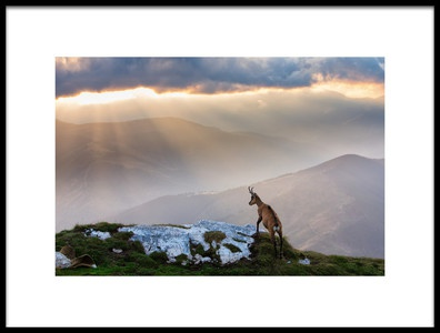 Buy this art print titled Chamois In Piatra Craiului Romania by the artist Dan Mirica