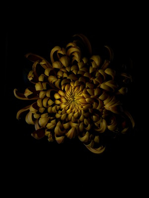 Buy this art print titled Chrysanthemum by the artist Lotte Grønkjær