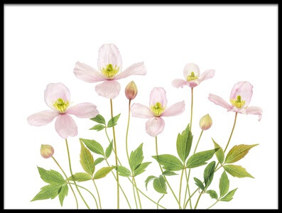 Art print titled Clematis by the artist Mandy Disher