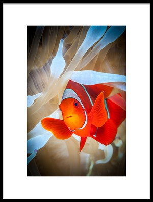 Buy this art print titled Clownfish Defends His White Anemone by the artist Jan Abadschieff