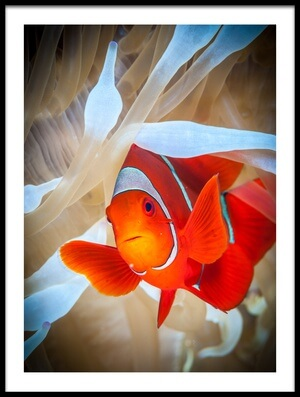 Art print titled Clownfish Defends His White Anemone by the artist Jan Abadschieff