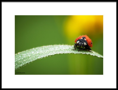 Buy this art print titled Coccinella Septempunctata by the artist Ali Rezaeian