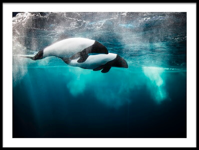 Art print titled Commerson's Dolphin by the artist David williams