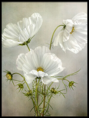 Buy this art print titled Cosmos Charm by the artist Mandy Disher