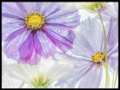 Art print titled Cosmos Cool by the artist Mandy Disher