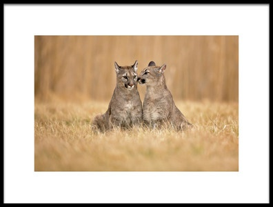 Art print titled Cougars by the artist Milan Zygmunt