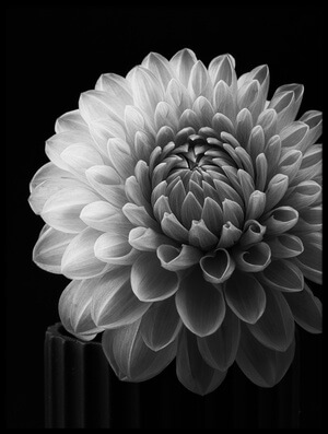 Art print titled Dahlia by the artist Lotte Grønkjær