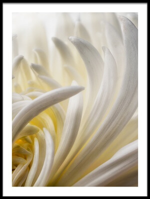 Buy this art print titled Dahlia 5 by the artist David Rothstein